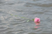 Rose in the Rhine at Millingen